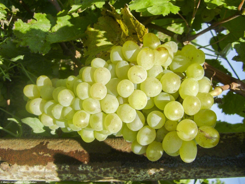 Une nouvelle variété de raisin a été cultivée en Azerbaïdjan - Gallery Image